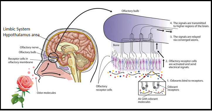 Limbic-smell-Hypothalamus